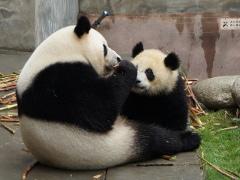 Chengdu, ses pandas et le Bouddha de Leshan